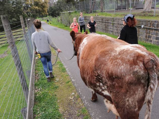 Woman walking cow at Collingwood Children's Farm