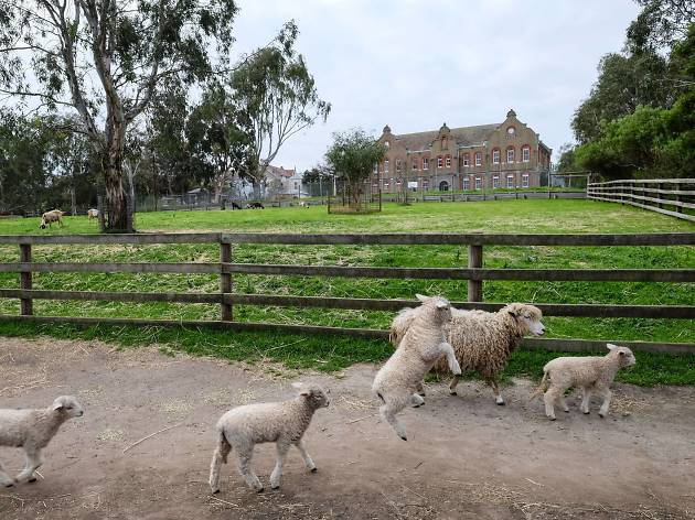 Lambs go for a walk at the Collingwood Children's Farm
