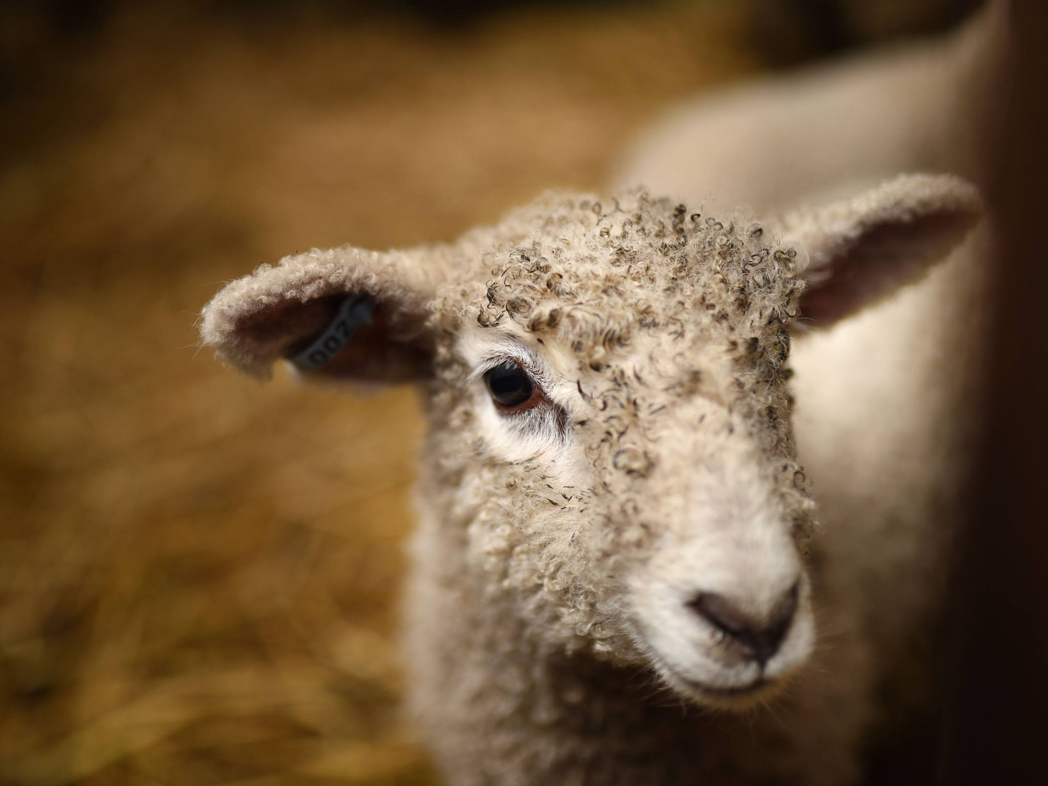 A lamb at the Collingwood Children's Farm