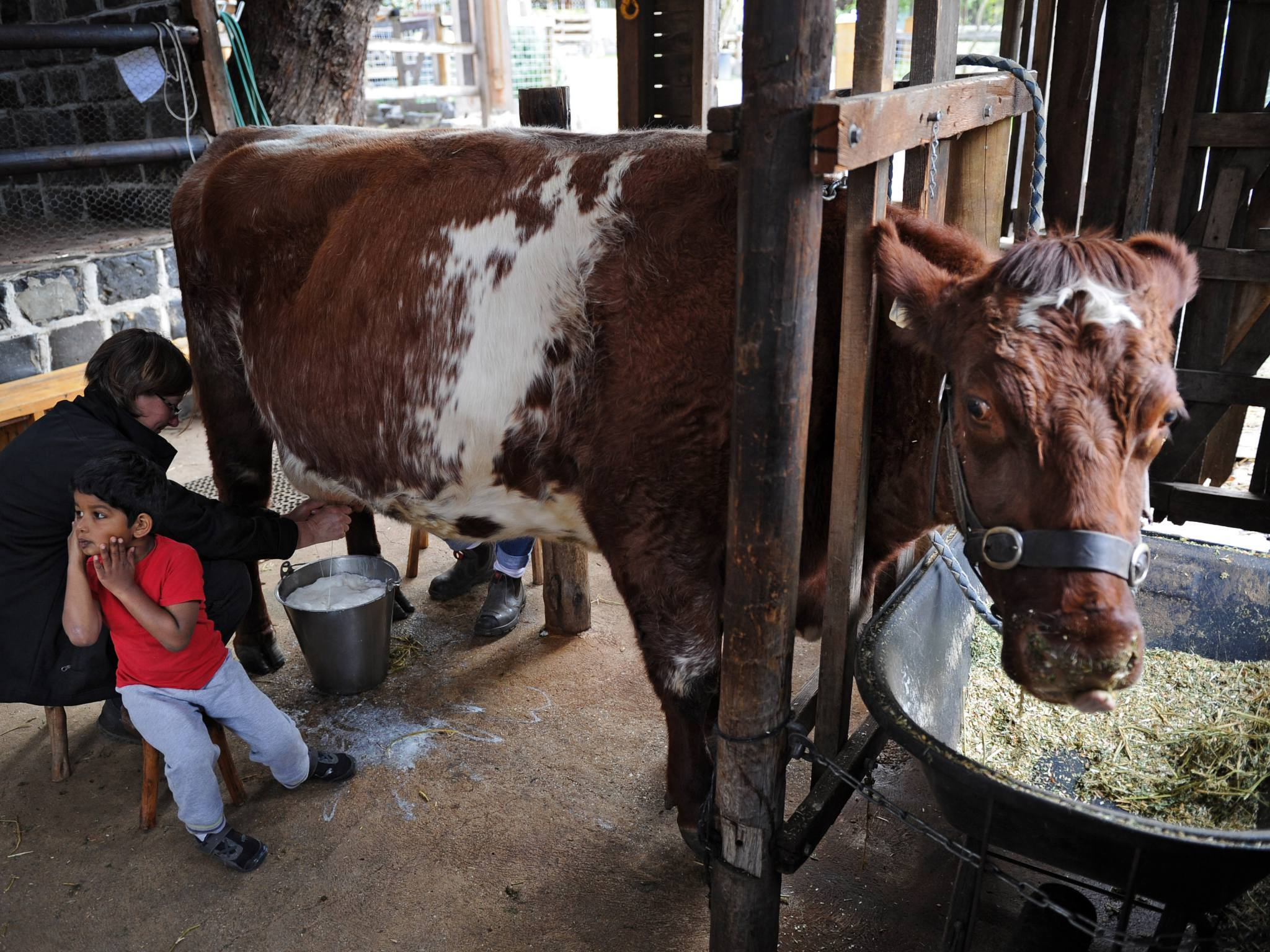 Tocky the cow being milked at Collingwood Children's Farm