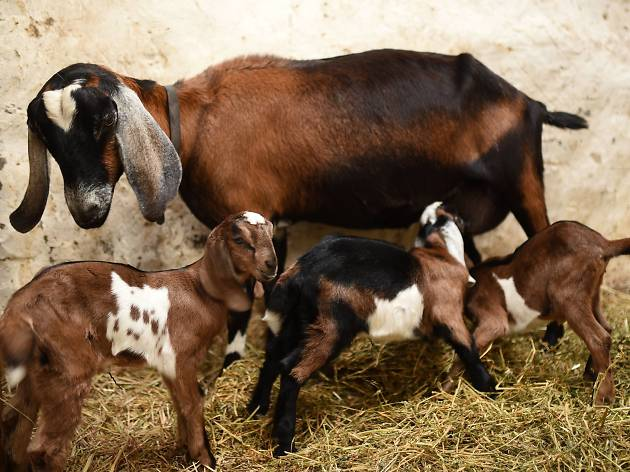 A mother goat and her kids at the Collingwood Children's Farm