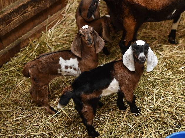 Baby goats at the Collingwood Children's Farm