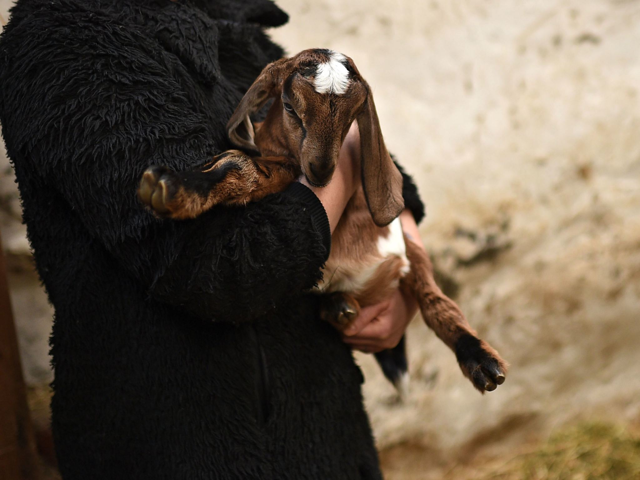 A woman cuddles a baby goat at the Collingwood Children's Farm