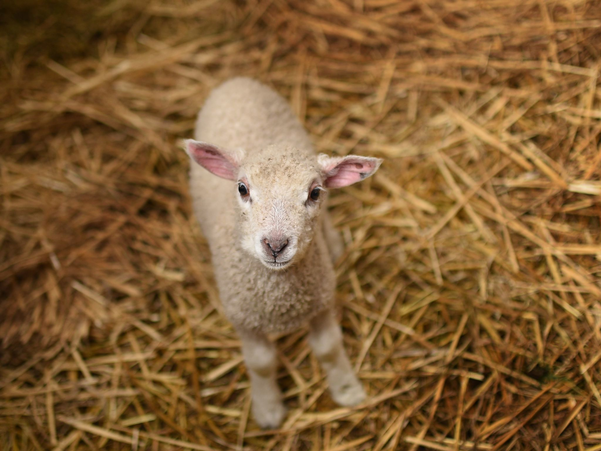 A lamb at the Collingwood Children's Farm