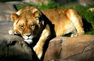 National Zoo and Aquarium lion