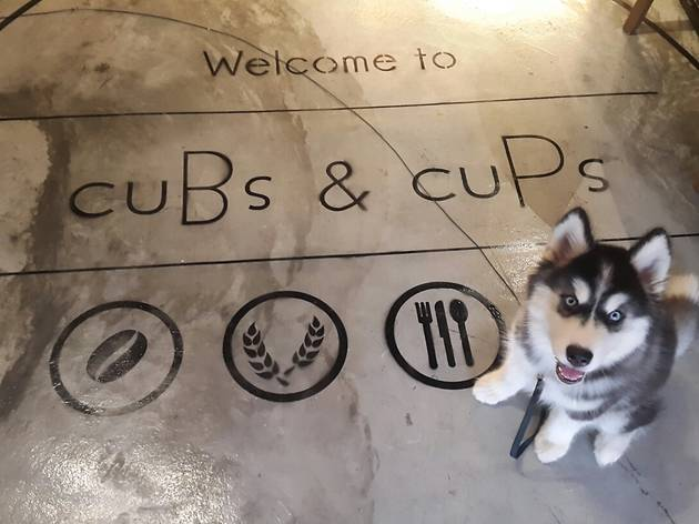 Cubs & Cups high-res Cola the Alaskan Malamute