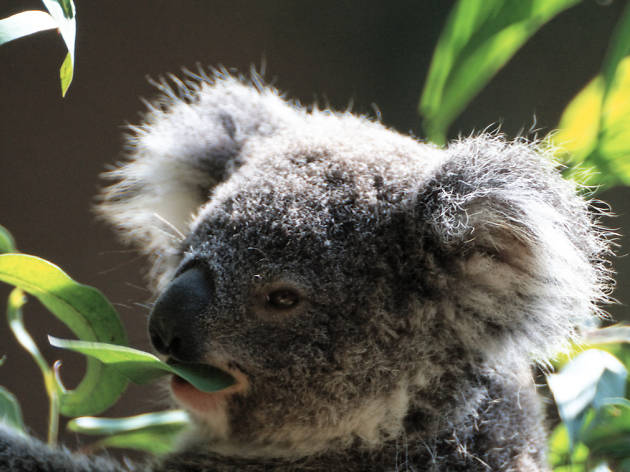 A koala from the LA Zoo.