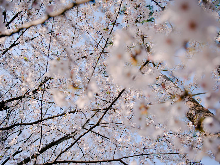 Best cherry blossom viewing spots in Tokyo