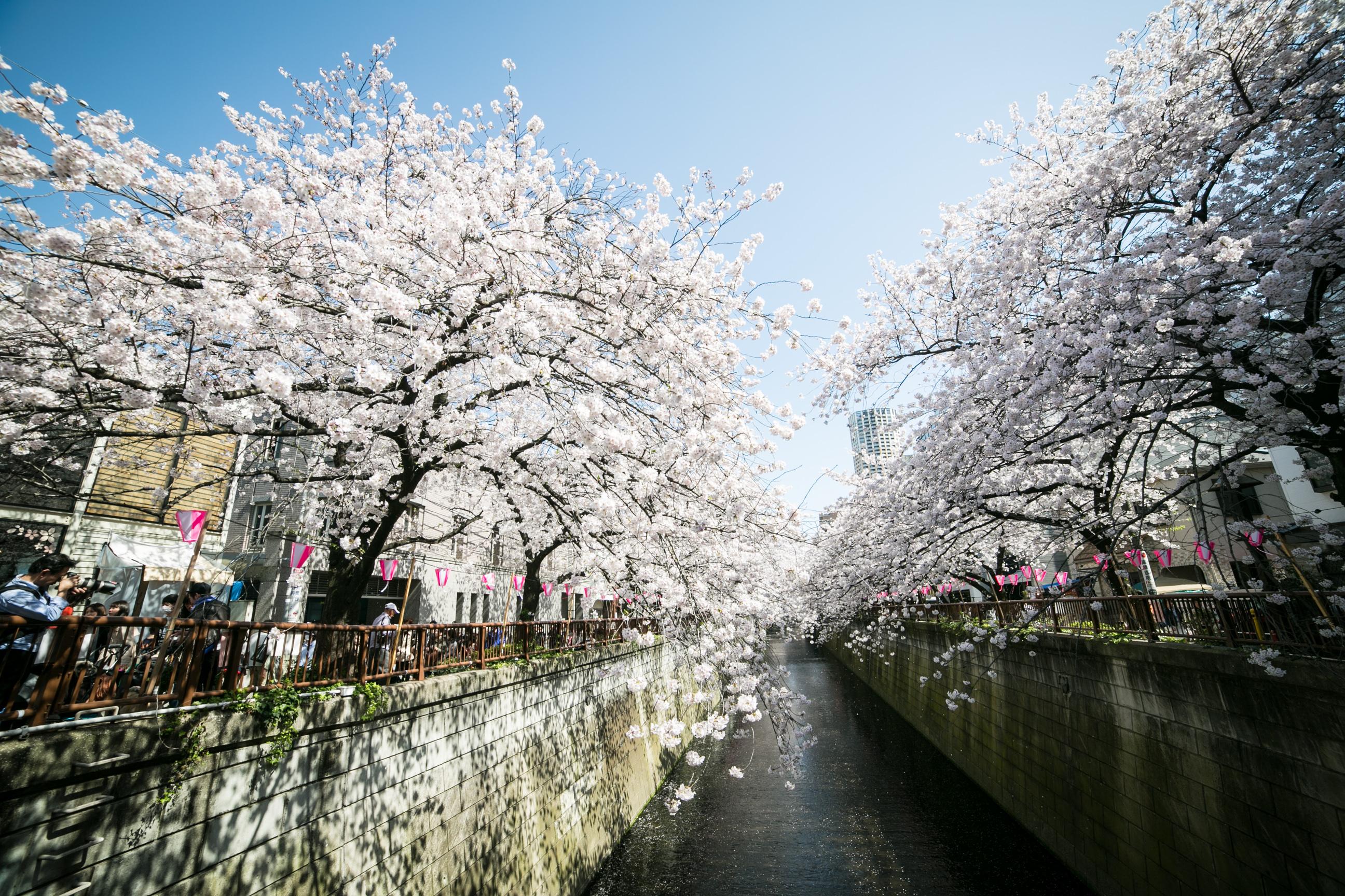 meguro river sakura | Time Out Tokyo