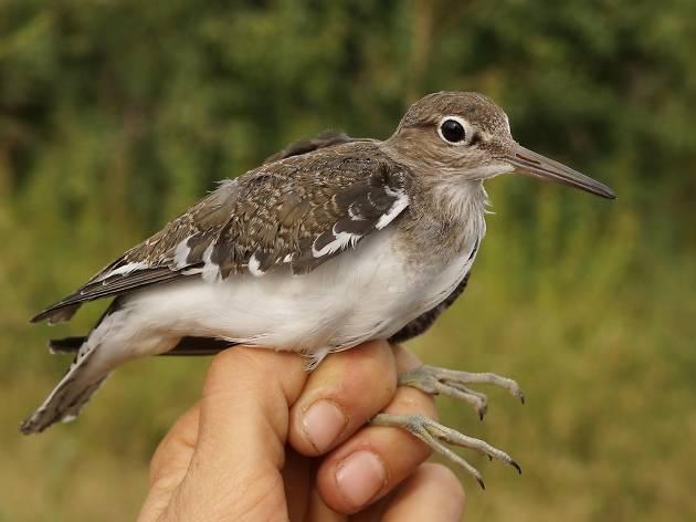 Descobrir ocells a l'entorn del Ter