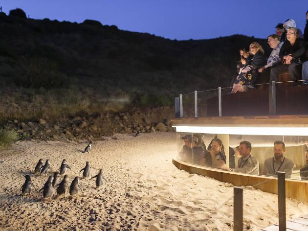 Phillip Island penguins underground
