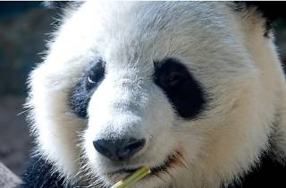 Giant panda, photo by Sebastian Bergmann