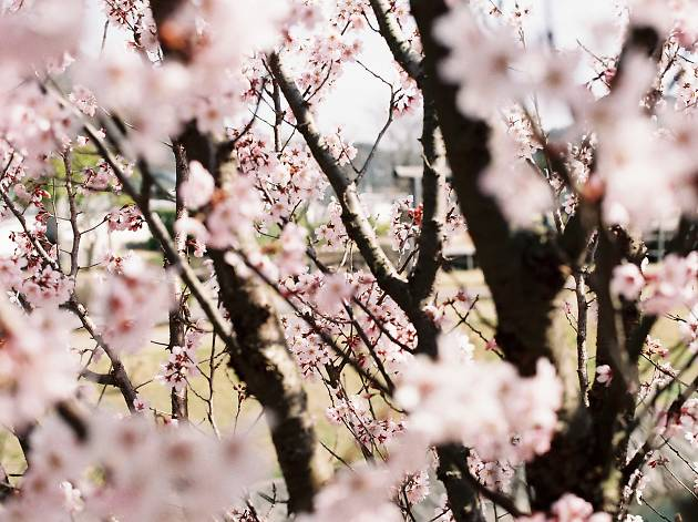 Sakura blossoms | Time Out Tokyo