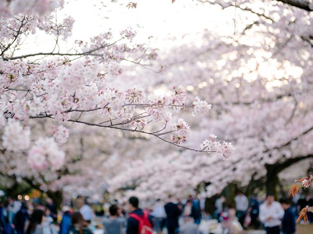 代々木公園、新宿御苑、千鳥ヶ淵、目黒川、井の頭公園の桜。