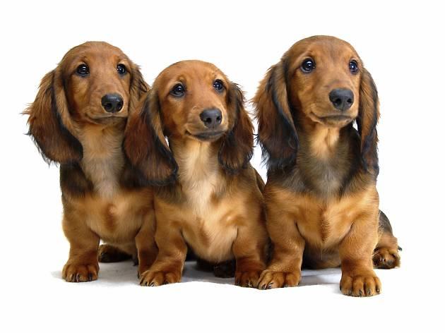 Three dachshund puppies
