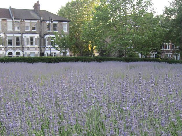 Lavender garden, Vauxhall Park
