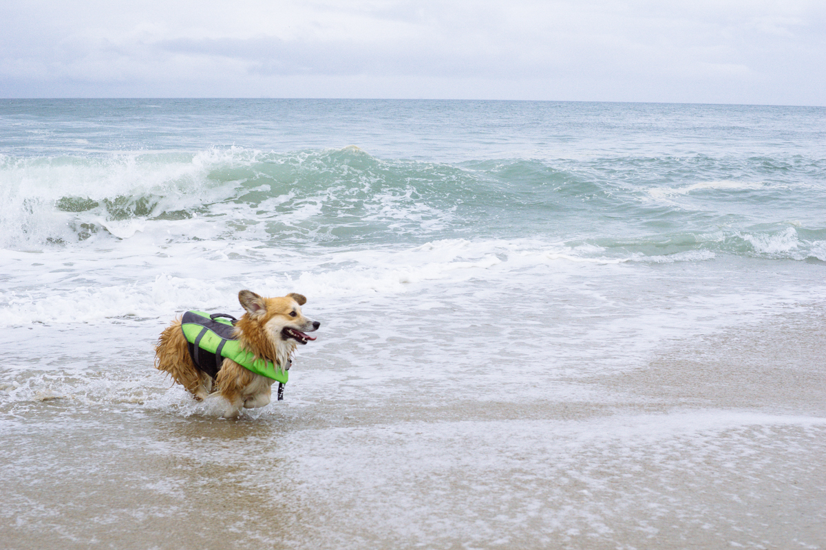 Hundreds of corgis made a splash at So Cal Corgi Beach Day