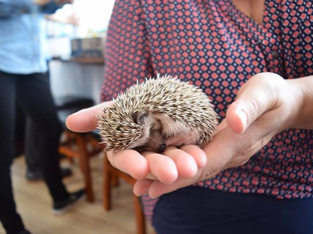 Have coffee with a hedgehog