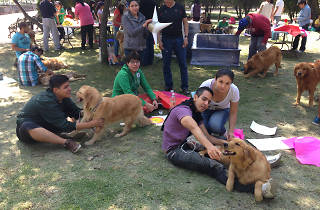 Caminata Golden Retriever México