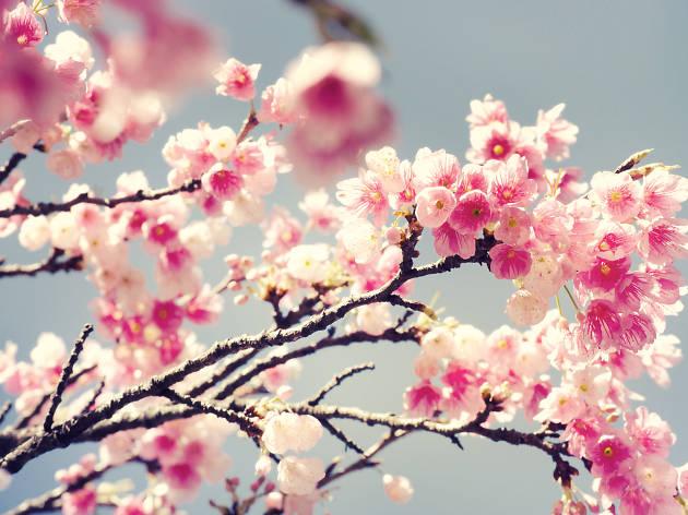 Hanami: la fête du printemps au Japon