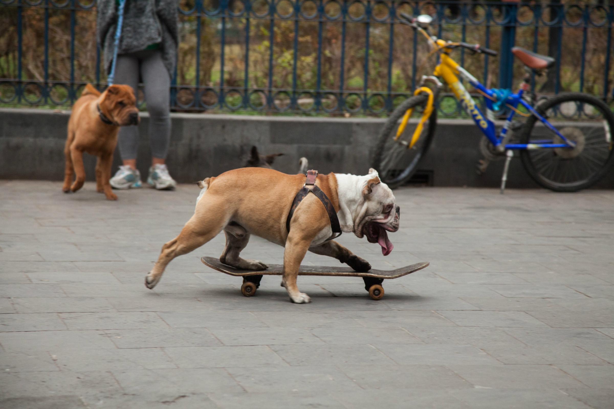 Yandel, el perro skate de la CDMX