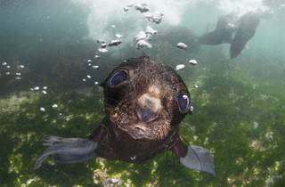 (Andrey Narchuk: 'Baby Seal, Commander Islands', 2016. © Andrey Narchuk, Russia, Shortlist, Open, Nature and Wildlife, 2016 Sony World Photography Awards )