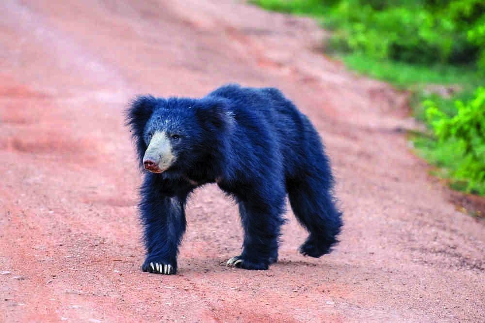 Spot the sloth bear