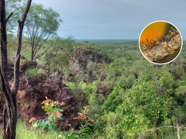 Australia on a plate - Green ants