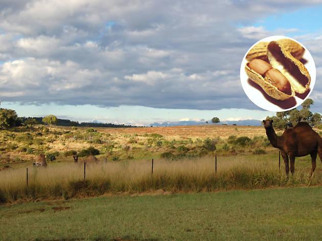 Australia on a plate - Peanut