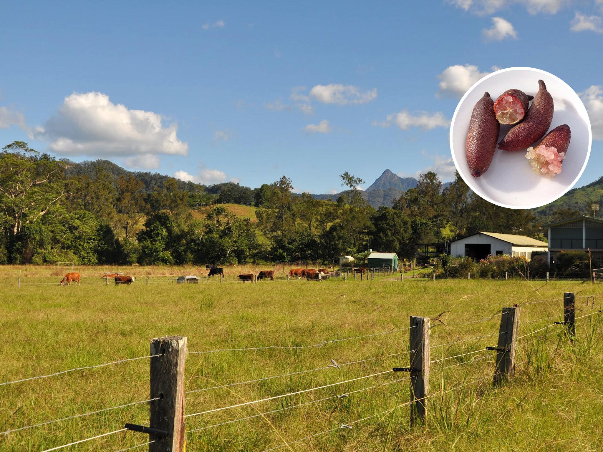 Australia on a plate - Finger limes