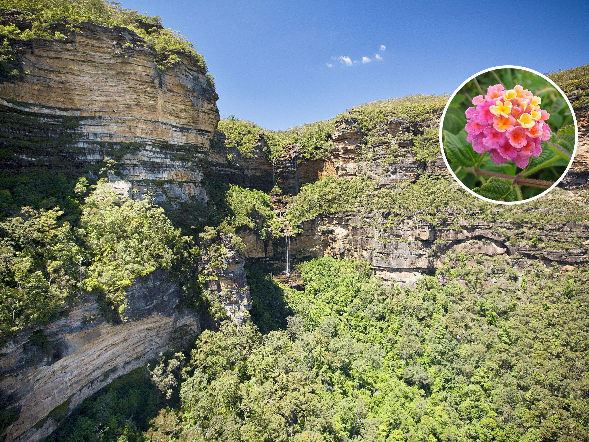Australia on a plate - Lantana flower