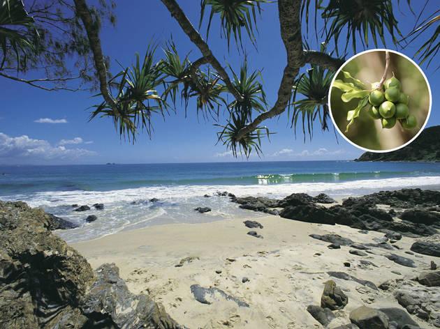 Australia on a plate - Unripe macadamia nut