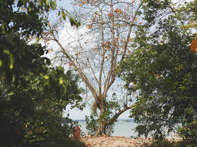 Pulau Ubin Tree