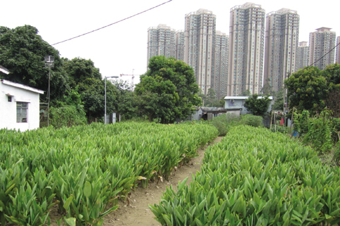 Pearl River Delta Megacity - Rural Northeast Territories, plants in the foreground, highrise apartments in the background