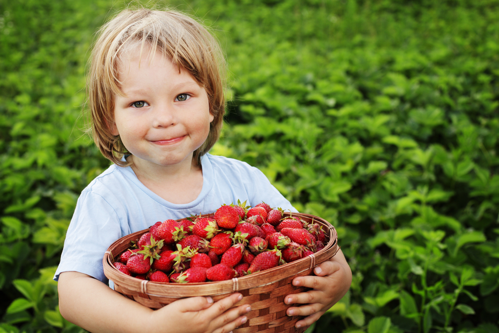 The best strawberry picking in NY