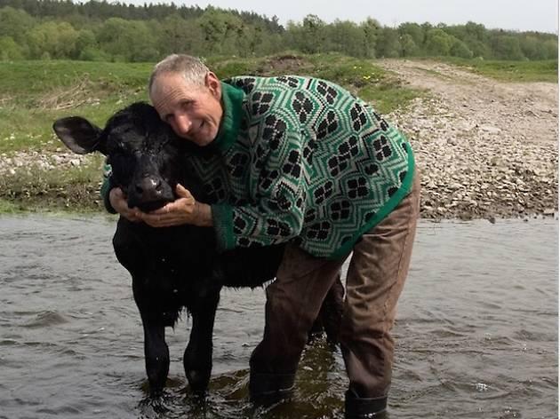 Home abraçant vaques