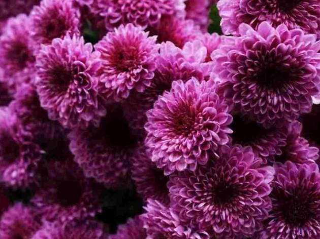 Royal Floria Putrajaya dark purple chrysanthemums