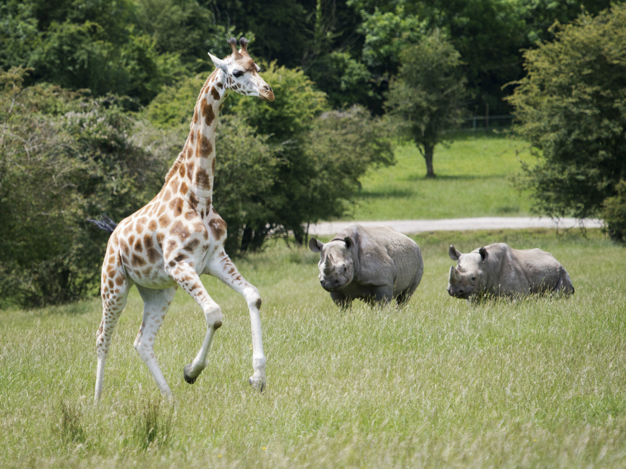 port lympne, giraffe, black rhino