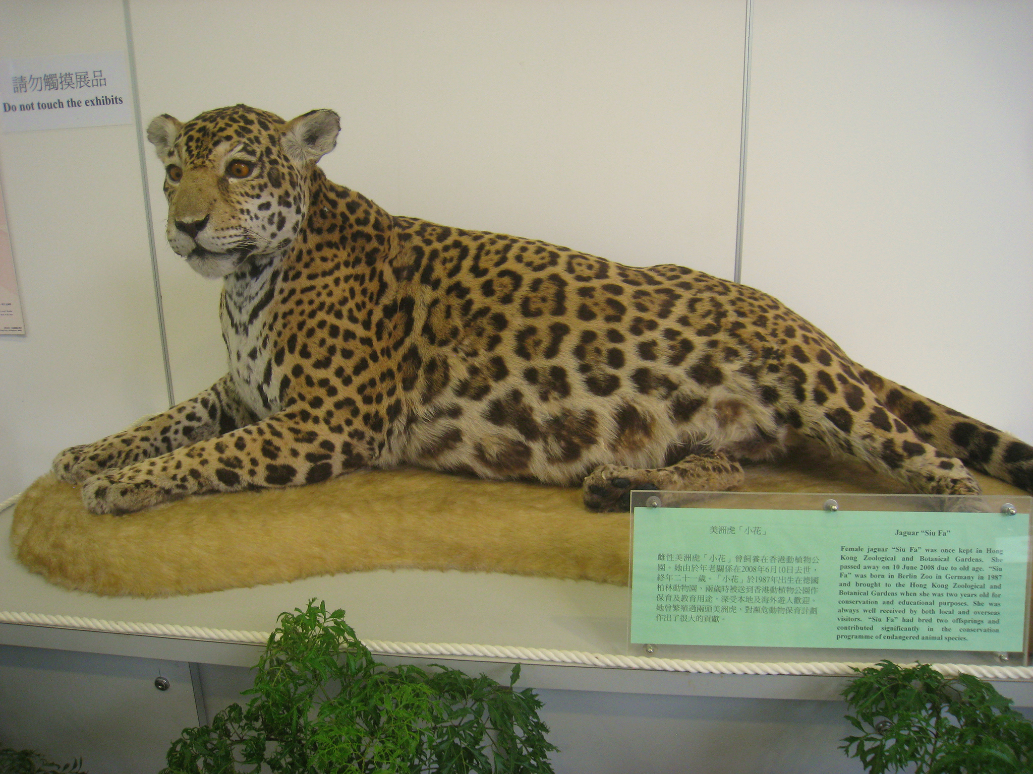 Siu Fa the jaguar