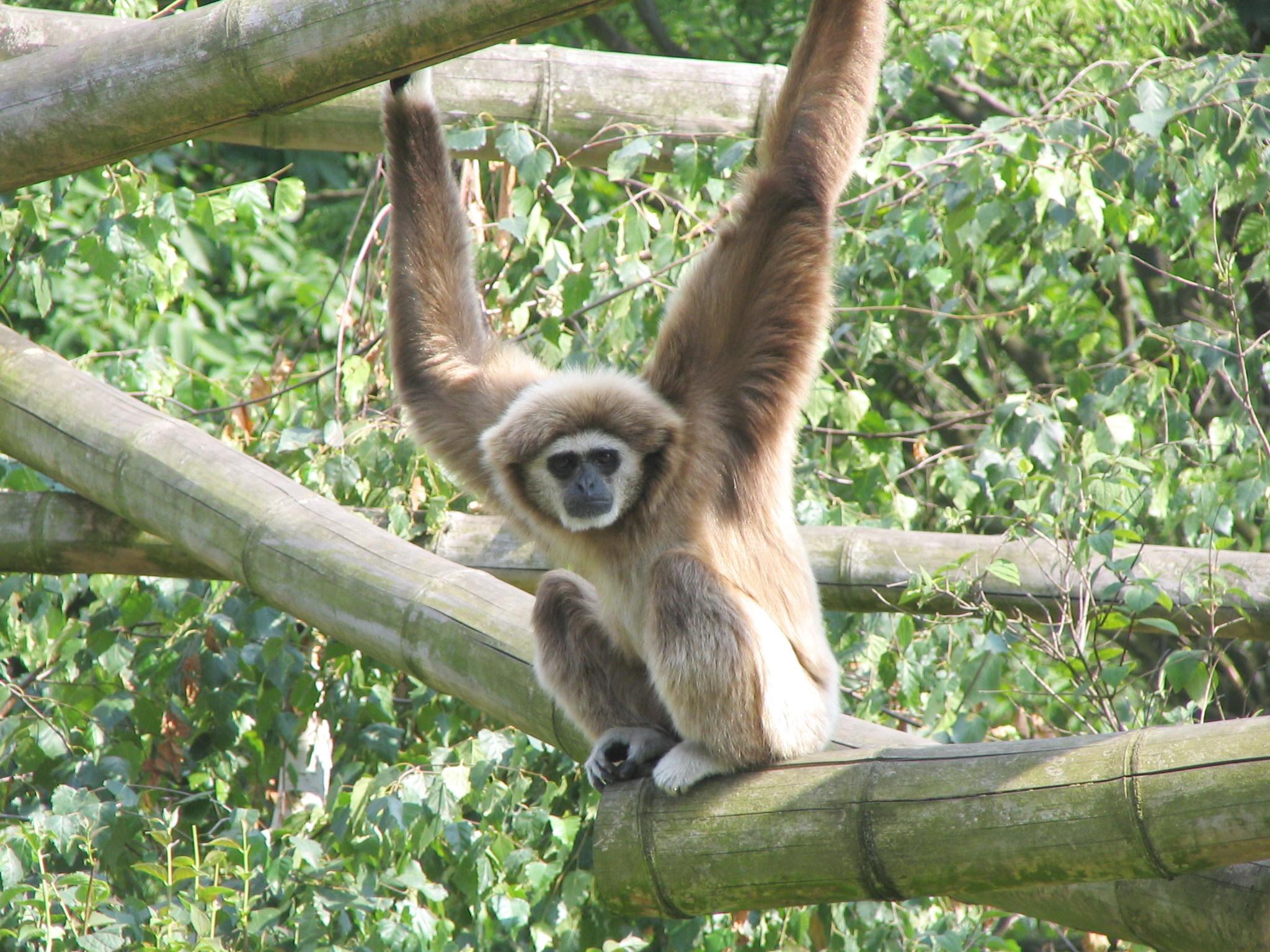 Gibbon-on-the-run