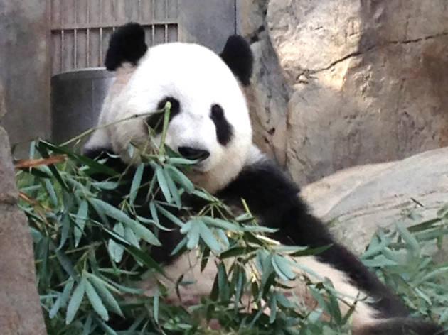 到香港海洋公園探訪大熊貓