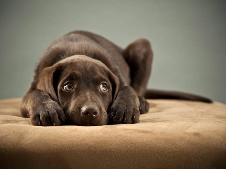 Els gossos i els petards: com hem d'actuar perquè passin menys por
