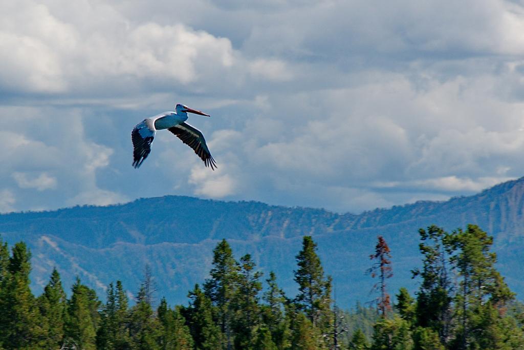 Pelican Flying over Teton Range