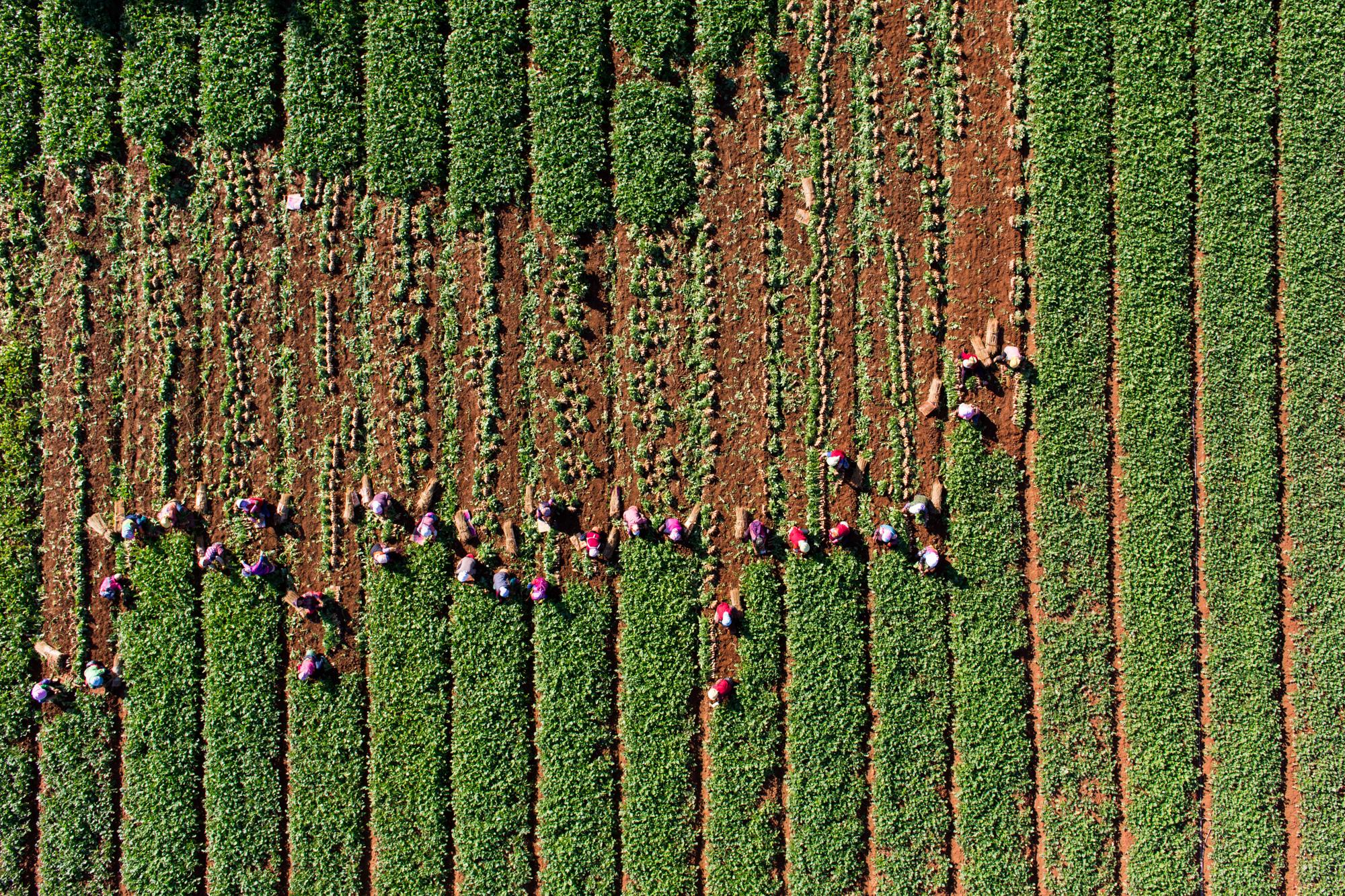 Radish Harvest, Seosan