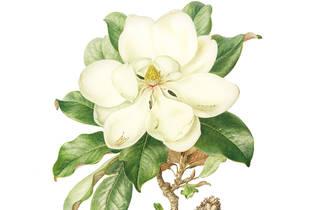 Florilegium Sydney's painted garden 2016 Sydney Living Museums Magnolia grandiflora by Jenny Phillips
