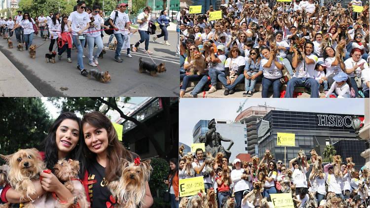 Yorkimania México es un grupo de amantes de la raza Yorkshire Terrier