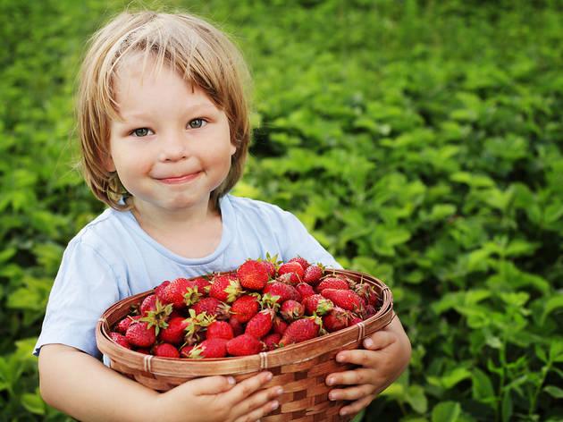 Strawberry picking in NY