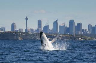 Whale breaching in Sydney Harbour