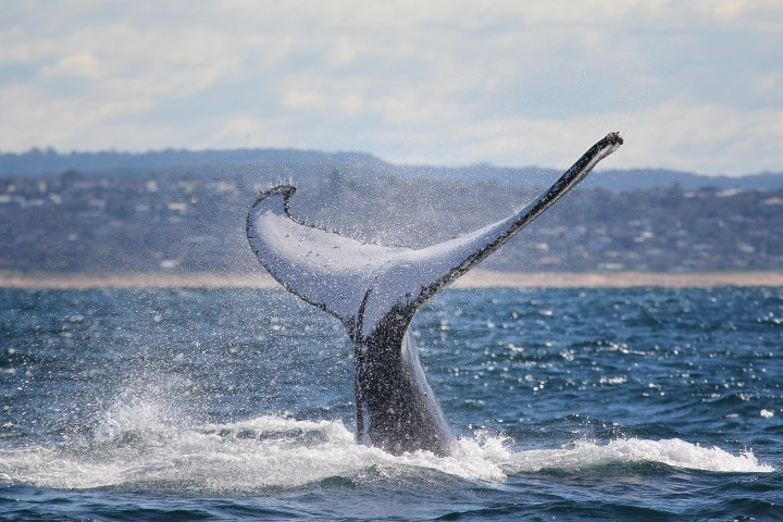 Whale tail breaching the water