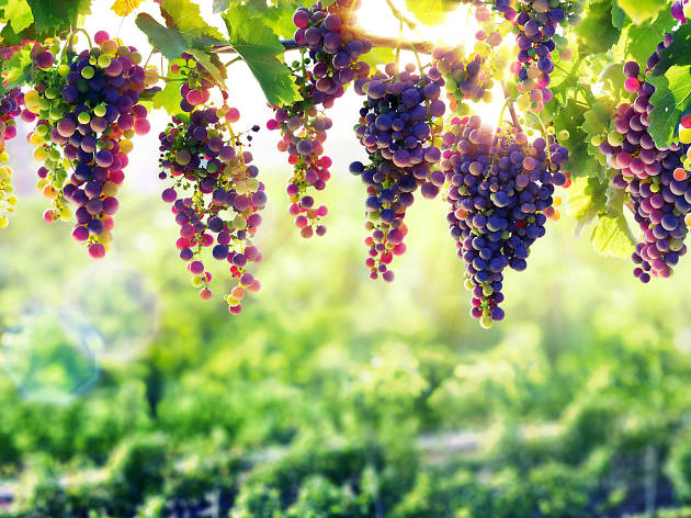 Hanging grapes in a vineyard